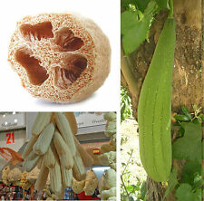 15 semillas luffa aegyptiaca (Luffa está) - schwammkürbis