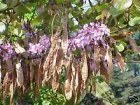 Zierbaum der schöner LIEBESBAUM - sagenhafte Blüten - Farbenpracht !