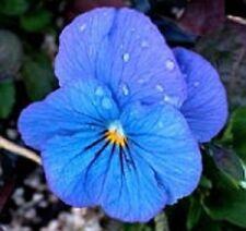30+ Viola Cornuta Blue Perfection / Perennial Flower Seeds
