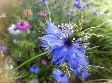 Nigella (Miss Jekyll Blue) 50 seeds flower garden