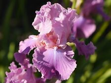 "TALL BEARDED IRIS GERMANICA Rhizome ""MISSION IMPOSSIBLE"" Delivery August/Septemb"