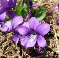 200Pcs Viola Philippica Flowers Pansy Seeds Rare Ornamental Home Garden Plants