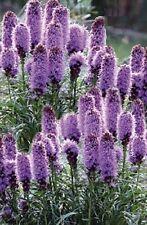 Liatris spicata 'Floristan Violet' / Blazing Stars / Hardy perennial / 50 Seeds