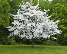 1 White Flowering Dogwood (cornus-florida)