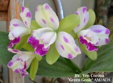 New listing Rlc Yen Corona 'Green Genie' Am/Aos orchid plant (152)
