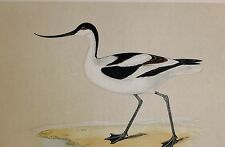 c1875 ANTIQUE PRINT ~ AVOCET HAND COLOURED British Birds Morris