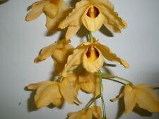 Dendrobium Moschatum.orchid specie