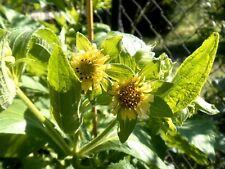 Yacon Gaucho - Smallanthus connatus - rare edible and ornamental - 30 seeds