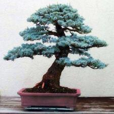 50 Seeds Ð¡olorado Blue Fir Bonsai Plant Tree House Herb Garden Flower Pot Decor