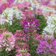 F0118 Cleome Colour Fountain Mix x100 seeds Tall Cottage Garden Flower