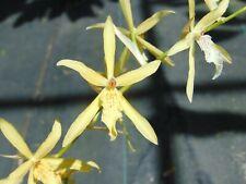 "Miltonia flavescens Bloom size 6"" wood slat basket Rare Species"