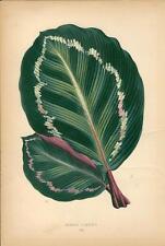 Stampa antica BOTANICA Foglie MARANTA ILLUSTRIS 1868 Old antique print leaves