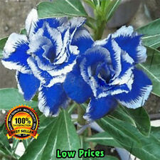 10 pcs Rare Blue Desert Rose Seeds Ornamental Plants Balcony Adenium Obesum 100%
