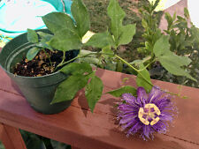 Passiflora Incense - Purple Passion Flower - Ornamental Passion Vine Live Plant