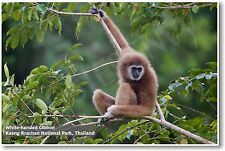 White-handed Gibbon - NEW Animal Wildlife POSTER
