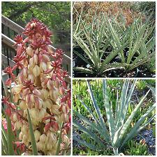 50 semi di Yucca torreyi, piante succulente,seed succulents