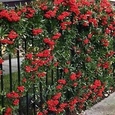 Scarlet Firethorn * 10 Seeds - Shrub, Tree, or Hedge.Pyracantha Coccinea