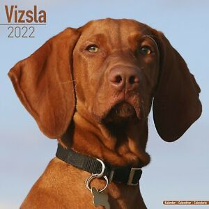 Vizsla Dog - 2022 Square Wall Calendar