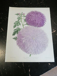 Flower - New Japanese Chrysanthemums , Floral Magazine New Series Plate # 454