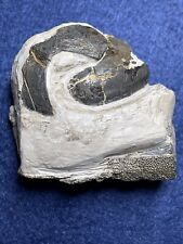 More details for a rare fossil fish from th london clay of sheppey, kent, uk