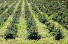 "blue spruce seedling 10"" (10)Quantity"