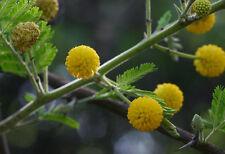 50 Acacia nilotica Seeds ,  Gum arabic tree  Seeds