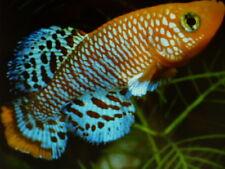 Nothobranchius Rachovii Beira 98 (30 eggs) killifish