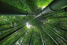 ☺50 graines de bambou géant d'hiver / moso bamboo/ mao zhu