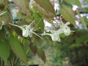 Epimedium Koreanum plant in 9cm. pot, early flowering with attractive foliage.