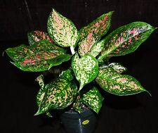 """GORGEOUS Chinese evergreen Aglaonema WISHES 6"""" Tropical Houseplant Low Light"""