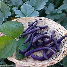 Royal Burgundy Bush Bean Heirloom Seeds - Non-GMO - Untreated - Open Pollinated!