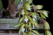 BIN- Coelogyne rochussenii -Collectors item! Easy to Grow! Unique! Must Have!