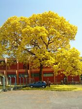 50 seeds Yellow Trumpet Tree (Tabebuia Caraiba )flower tree seeds,Yelow Trumpet