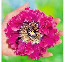 Seeds flower Petunia x hybrida superbissima Purple F1 from Ukraine