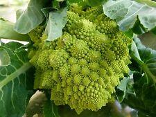150 Graines non traitées de Chou Fleur ROMANESCO Brassica oleracea var. botrytis