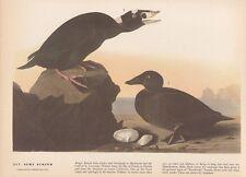 """1942 Vintage AUDUBON BIRDS #317 """"SURF SCOTER"""" BEACH Color Art Plate Lithograph"""