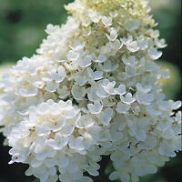 Pee Gee Hydrangea - Flowering Shrub Healthy Fast Growing - 1 Plant in 1 Gallon