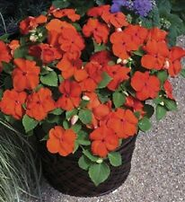 Impatiens Seeds Xtreme Orange 50 Flower Seeds