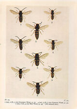 1932 PRINT ~ COMMON WASP GERMAN RED WASP