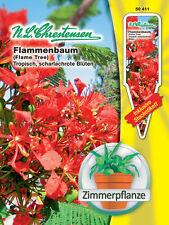 Flammenbaum, Zimmerpflanze - Delonix regia, ca. 5 Samen 50411