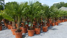 Palme XL 120-150 cm Trachycarpus fortunei, Hanfpalme, winterhart bis -18°C