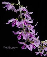 BIN-Den. Anosmum (Superbum) Hawaii's Hono-Hono Orchid! Easy to grow! Fragrant!