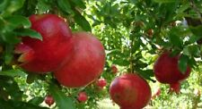 ☆Giant Pomegranate☆Sweet & Juicy☆ 7-Seeds☆♡☆Hardy Variety For UK☆UK Seller☆