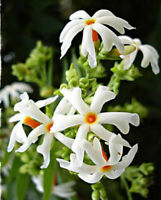 NIGHT FLOWERING JASMINE SEEDS ( Nyctanthes arbor-tristis ) Parijat - 100 Seeds