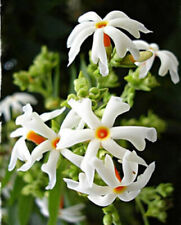 NIGHT FLOWERING JASMINE SEEDS ( Nyctanthes arbor-tristis ) Parijat - 10 Seeds