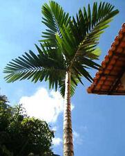 Ptychosperma elegans Solitaire Palm 10 seeds