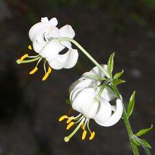 10 Samen Weiße Türkenbund-Lilie - Lilium martagon album - winterhart - Lily seed