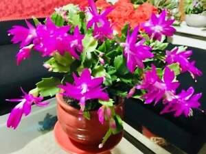 Christmas Cactus Cutting | Schlumbergera | Zygocactus | Thanksgiving cacti