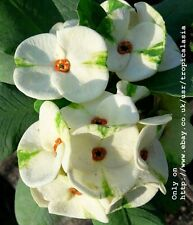 Crown of Thorns Euphorbia Milii White Green Big flowers: Cloud Emerald CT01