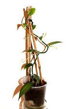 (1Stk.= 8,99€) 1 echte Vanille Pflanze -Vanilla planifolia - Jungpflanze - plant